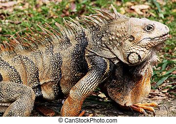 Head of iguana looking at horizon. Reptile animal
