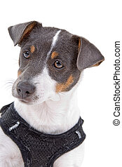 head of jack russel terrier dog isolated on a white background