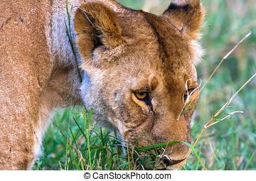 Head of large lioness. Kenya, Africa