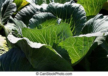 Head of Lettuce