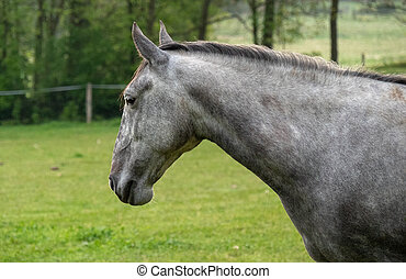 Head of light grey spanish horse