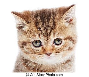 head of little British Shorthair kitten