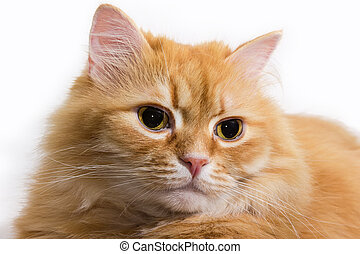 Head of lying ginger cat close-up in selective focus