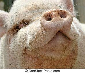 head of pink pig