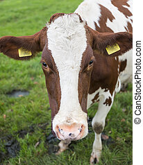 head of red and white cow in green meadow