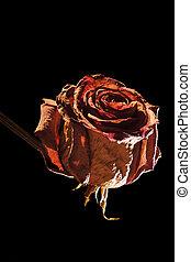 head of red rose on black - Studioaufnahme einer...