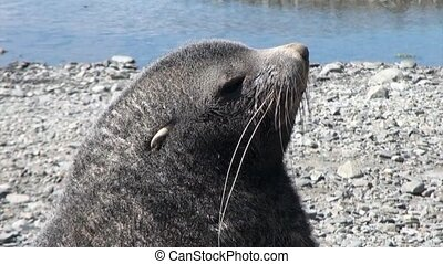 Head of seals close up on beach of the Falkland Islands in Antarctica.