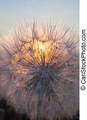 Head of seeds of the Tragopogon flower - Head of seeds of ...
