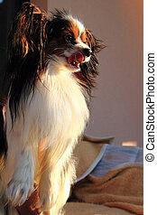head of smart papillon dog