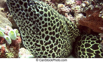 Head of spotted moray closeup on background coral underwater in sea of Maldives. Swimming in world of colorful beautiful wildlife of corals reefs. Inhabitants in search of food. Abyssal relax diving.