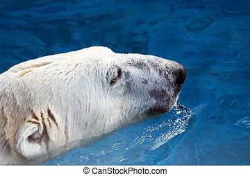 Head of swimming polar bear