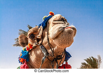 Head of the camel with open eyes, close-up, portrait, Egypt. It shows the language and grimaces, a joke.