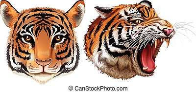 Illustration of the head of the tigers on a white background