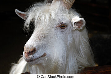 Head of the white goat