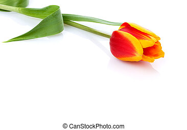 head of tulip on white background