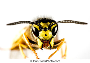 head of wasp in extreme close up with white background and blured body