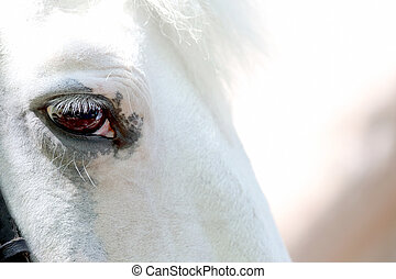 head of white horse closeup