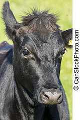 Head of young black cow