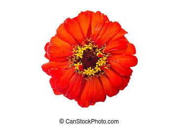 head of zinnia flower