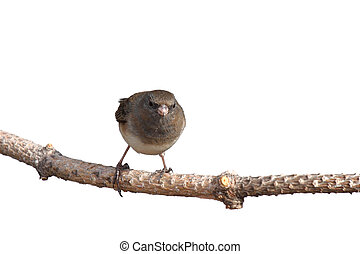 head on image of junco balanced on a branch