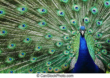 peacock - head peacock as very nice animal background