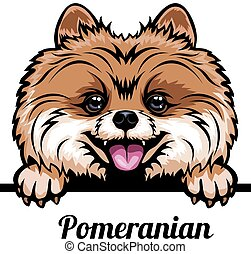 Head Pomeranian - dog breed. Color image of a dogs head ...