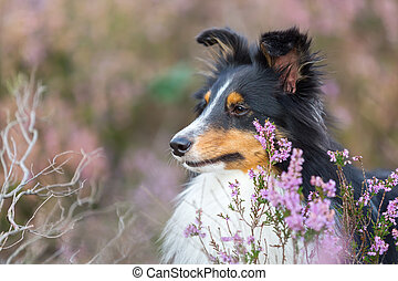 head portrait of a Sheltie between heather