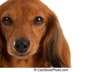 head portrait of long haired dachshund on white background