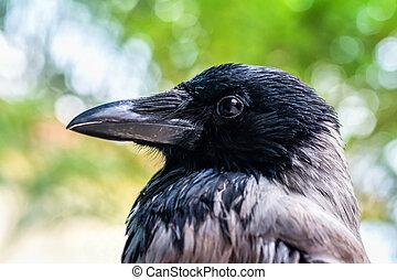 Head shot of a Crow