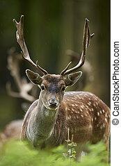 head shot of a fallow deer stag (dama dama)