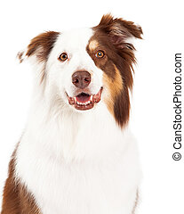 Head Shot of Beautiful Border Collie