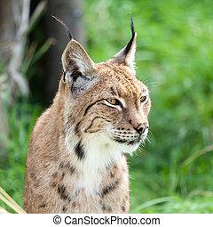 Head Shot of Eurasian Lynx - Head Shot Portait of Eurasian ...