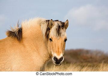 head shot of Norwegian Fjord Horse in Meadow