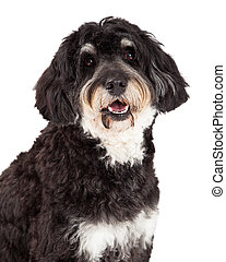 Head Shot of Poodle Mix Breed Dog - Head shot of Poodle Mix...