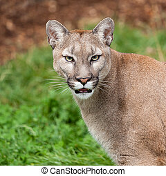 Head Shot Portrait of Beautiful Puma Felis Concolor