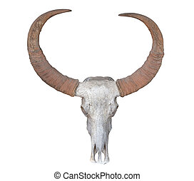 Head skull of buffalo isolated on white. Saved with clipping path
