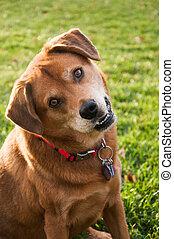 Head Tilt Dog - Dog tilting his head