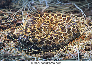 Snake, Crotalus polystictus, Mexican lance- headed rattlesnake