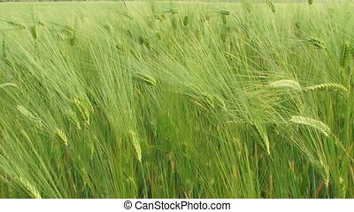 Heading wheat