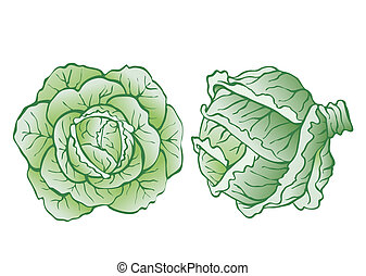 heads of cabbage-vector realistic illustration for food ...
