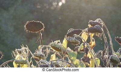 Heads of dried sunflowers in a field against the backdrop of...
