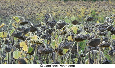 Heads of dried sunflowers in a field. Many ripened dry...