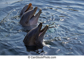 Bottlenose dolphins or Tursiops truncatus - Heads of three ...