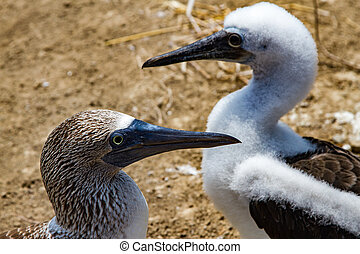 Heads of Two Blue Footed Boobies