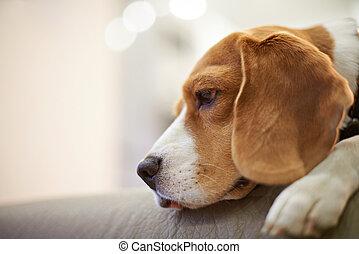 Headshot of beagle dog