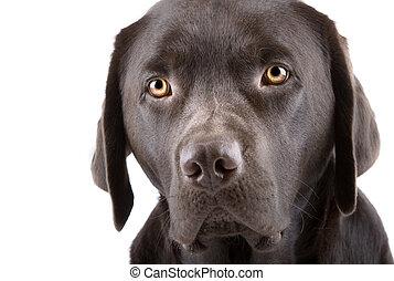 headshot, von, a, reizend, schauen, labradorwelpe