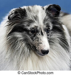 headshot, von, shetland, sheepdog.