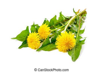 Dandelion - Healing plants. Dandelion isolated on white ...