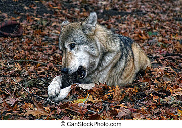 timber wolf - healthy adult male timber wolf