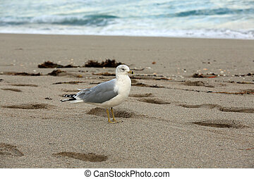 Healthy black tailed seagull
